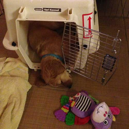 Tips for crate training golden retriever